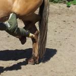 paard hand been